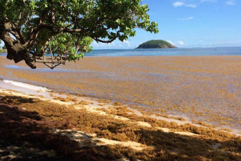 algues sargasses sur les côtes des caraïbes